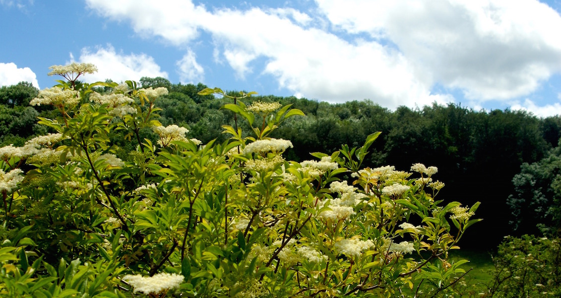 Elderflower Tree on Laurie Lee Wildlife Way (© Sara Chardin)