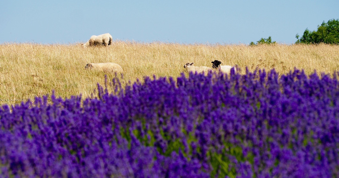 Cotswold Lavender Sheep