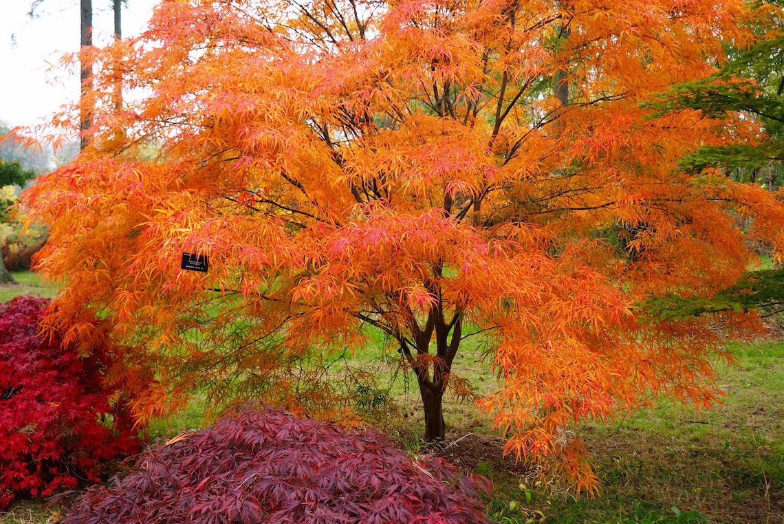 Acers in the Silk Wood
