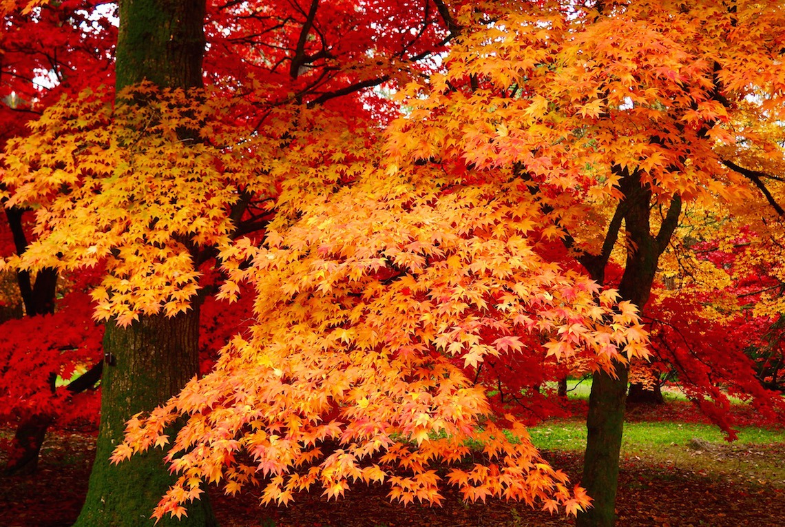 The Acer Glade