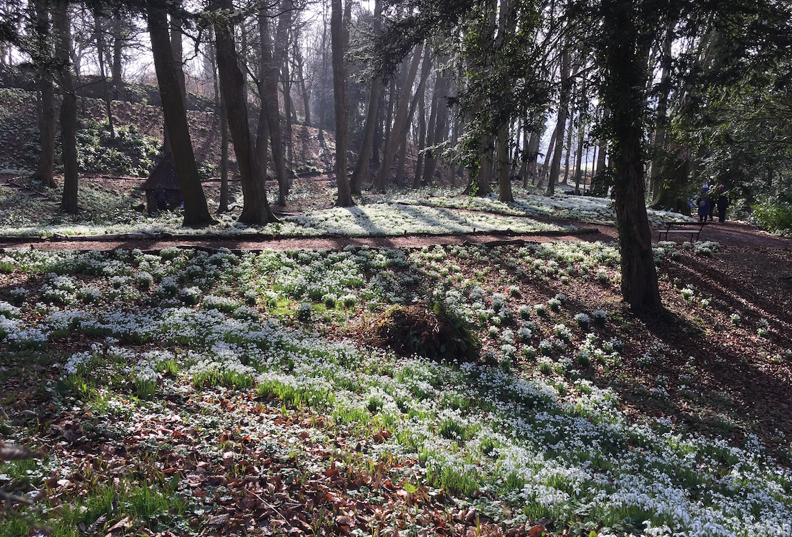 Snowdrops in the woodland at Painswick Rococo Garden