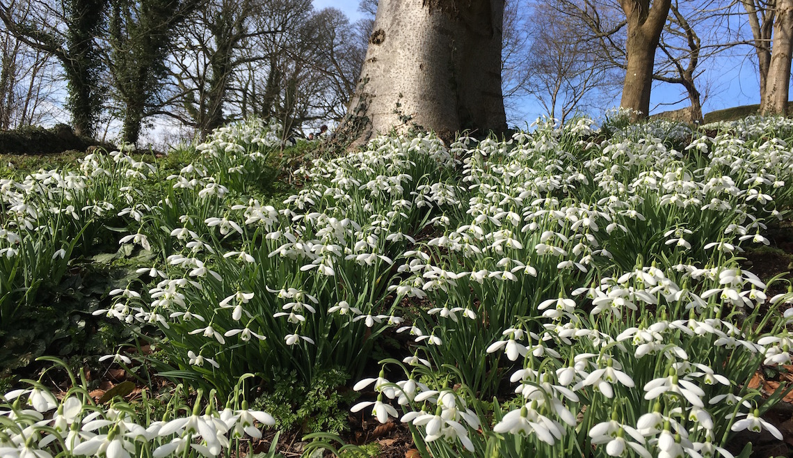 Snowdrops covering the bank at Painswick Rococo Garden